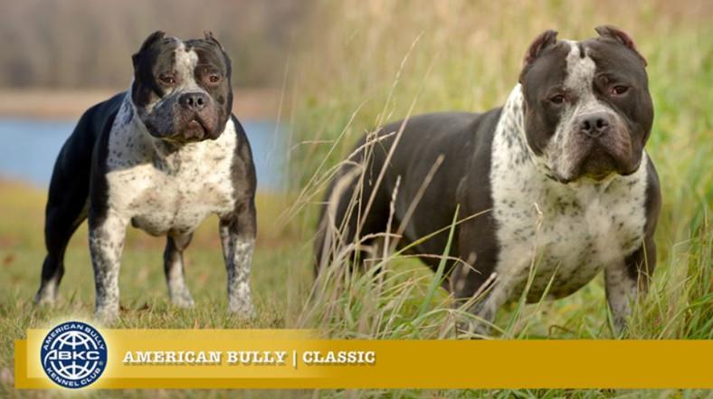 American Bully Classic.JPG