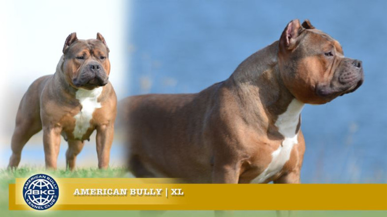 American Bully XL.JPG