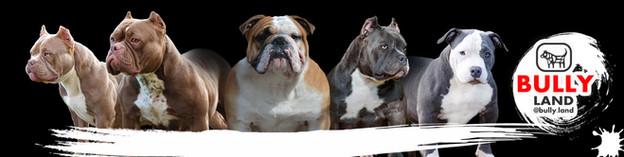 Щенки американского булли, питомник собак, купить щенка булли, Тарус питомник, bully.land