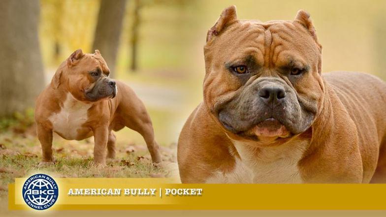 American Bully Pocket.JPG