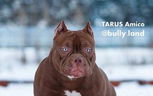 TARUS Amico bullyland_edited.jpg
