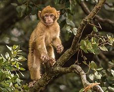 Monkey Middle Atals Ifrane.jpg