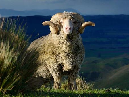 La laine de Mérino