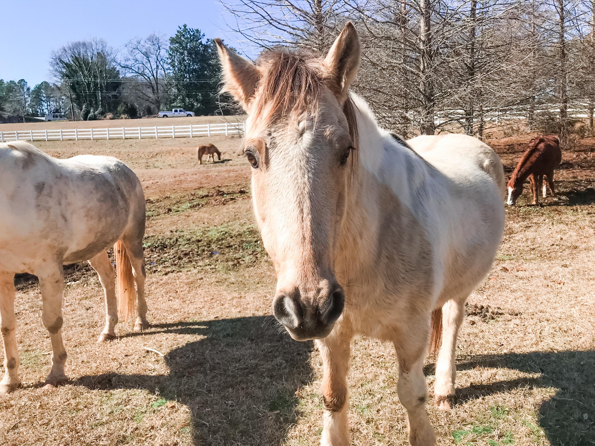 OUR HORSES | HALTER | Spartanburg, SC