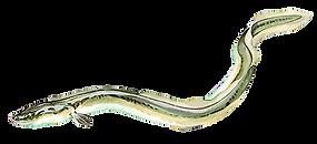 anguilla anguilla transparent.png