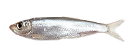 sprat transparent.png