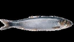 sardina pilchardus transparent.png