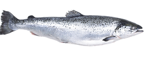 salmon transparant.png