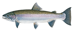 Oncorhynchus mykiss transparent.png