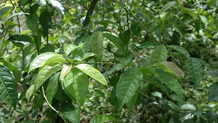 OSSA_guayusa leaves green 3.jpg