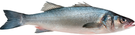 sea bass transparent.png