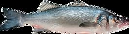 sea bass transparent.png