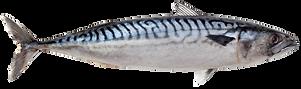 mackerel fresh transparant.png