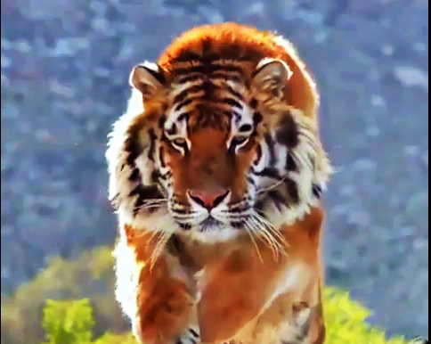 Amazing Facts You Should Know About Tigers