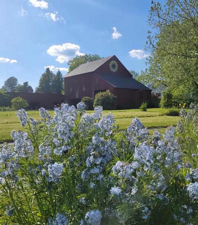 Barn with Amsonia