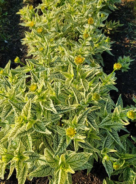 Heliopsis - Fake Sunflower Bush