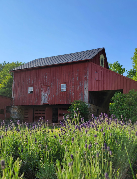 Lavender and the Barn