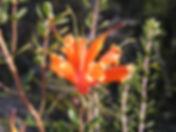 PROTEACEAE Lambertia inermis Duke (1).JP