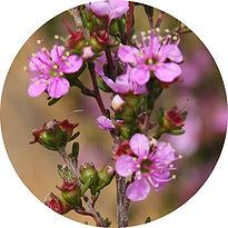 Kunzea-affinis.jpg