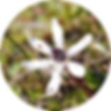 Wurmbea-sinora.jpg