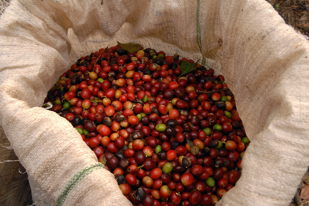 A bag of Nicaraguan coffee beans (photo by Kris Dreessen)