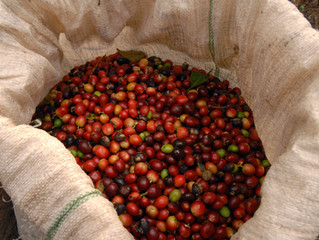 150 Years in the Making: The Nicaraguan Coffee Industry