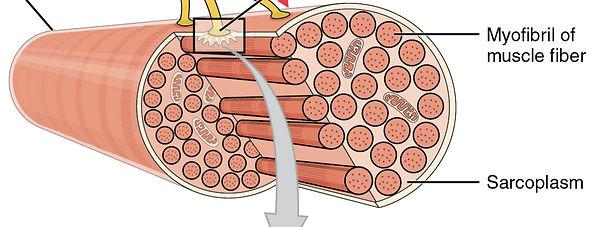 fibre musculaire répartition