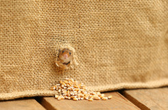 Cheeky_Harvest_Mouse.jpg