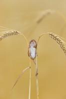 Harvest_Mouse_on_Barley.jpg