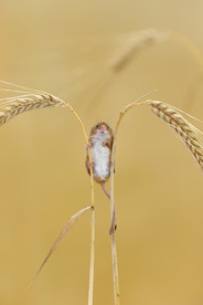 Harvest_Mouse_on_Barley.jpg