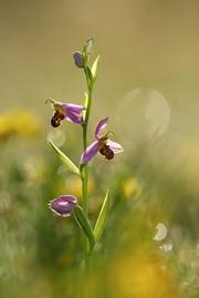Backlit_Bee_Orchid.jpg