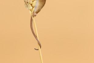 Harvest_Mouse_Tail.jpg