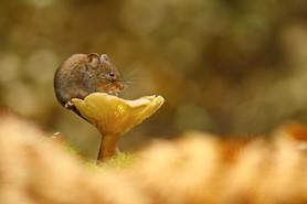 The Vole and the Mushroom.jpg