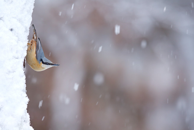 Nuthatch in Snow.jpg