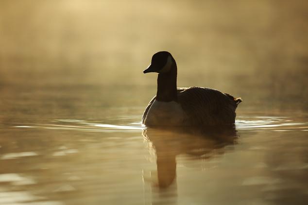 Golden_Goose.jpg