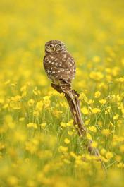 Owl_in_Buttercups.jpg