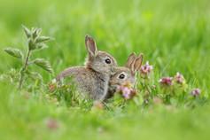 Spring_Bunnies.jpg
