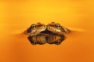 Golden Froglets.jpg