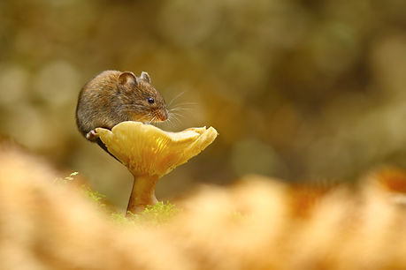 The_Vole_and_the_Mushroom.jpg