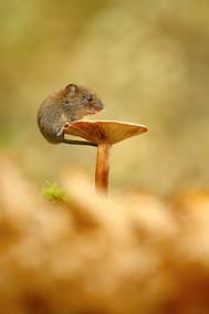 Mushroom Vole.jpg