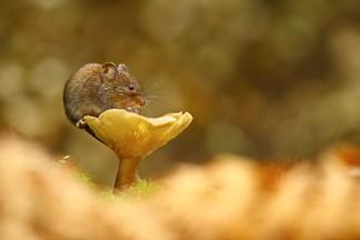 Vole_and_Mushroom.jpg