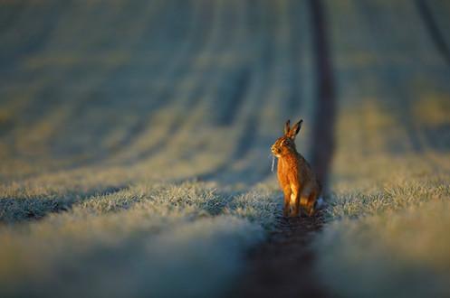 Frosty_Hare.jpg