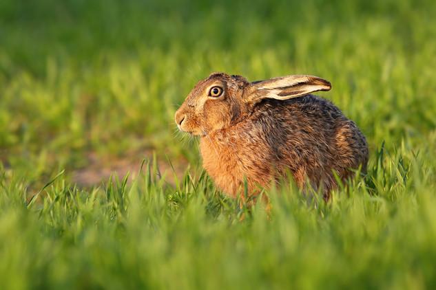 Hare_Stare.jpg