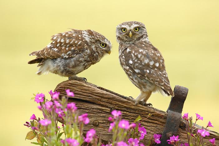 Little_Owls.jpg