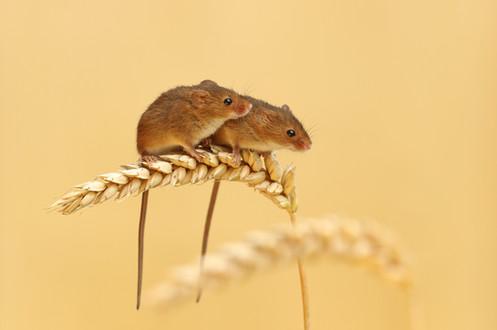 Harvest_Mice_on_Wheat.jpg