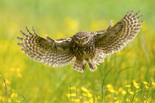 Little_Owl_Flight.jpg