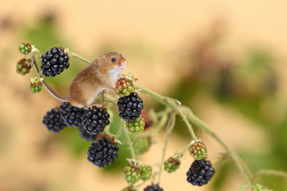 Harvest_Mice_on_Brambles.jpg