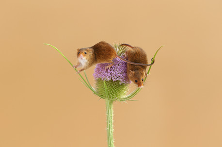 Harvest_Mice_Teasel.jpg