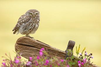 Little_Owl_Bee.jpg