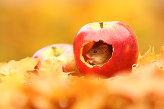 Autumn_Mouse.jpg